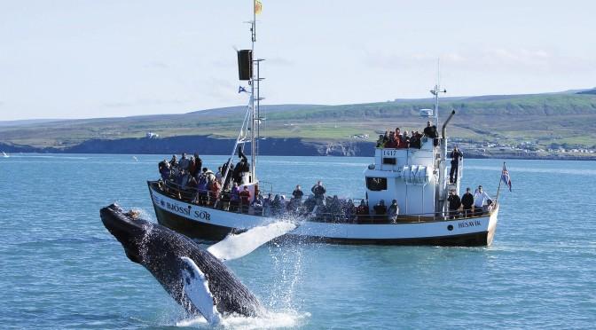 Whale Watching i Island